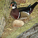20051013 043DSCw [D-HM] Brautente (Aix sponsa), Bad Pyrmont