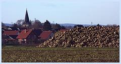 Zuckerrüben in der Hildesheimer Börde