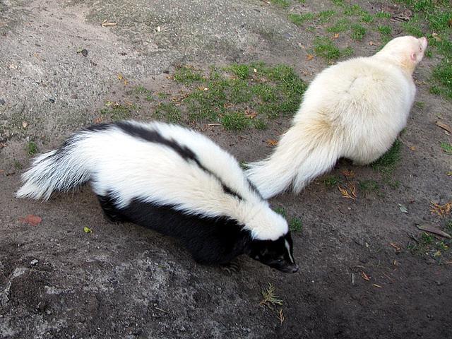 IMG 0345 Skunks
