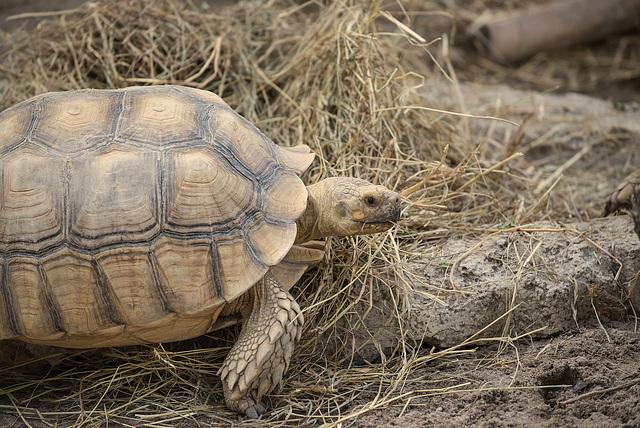 NICE: Parc Phoenix: Une tortue terreste (Testudines).