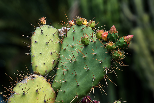 NICE: Parc Phoenix: Un cactus (Cactaceae). 01