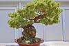 Bonsai Japanese White Pine – Phipps Conservatory, Pittsburgh, Pennsylvania