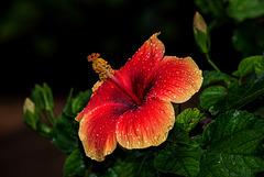 NICE: Parc Phoenix: Hibiscus Rose de Chine (Hibiscus rosa-sinensis). 01