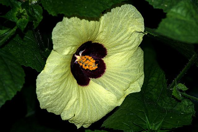 NICE: Parc Phoenix: Hibiscus calyphyllus