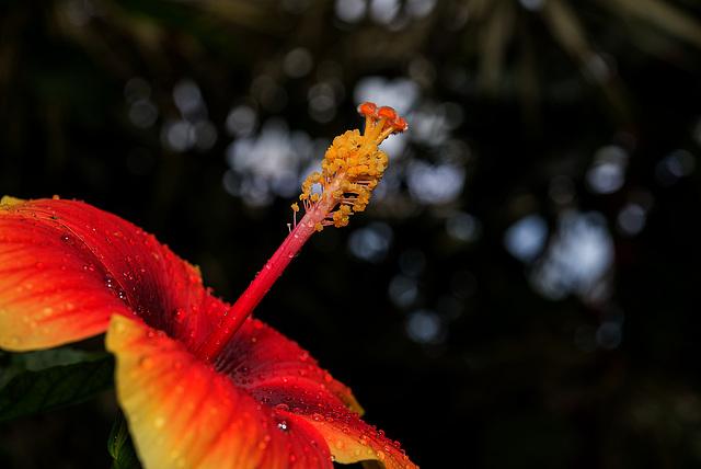 NICE: Parc Phoenix: Hibiscus Rose de Chine (Hibiscus rosa-sinensis). 02