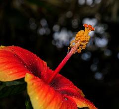 NICE: Parc Phoenix: Hibiscus Rose de Chine (Hibiscus rosa-sinensis). 03