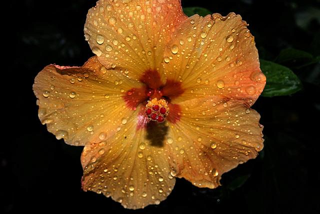 NICE: Parc Phoenix: Hibiscus Rose de Chine (Hibiscus rosa-sinensis). 05