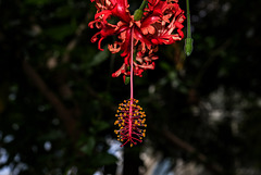 NICE: Parc Phoenix: Hibiscus schizopetalus. 01