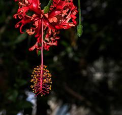 NICE: Parc Phoenix: Hibiscus schizopetalus. 02