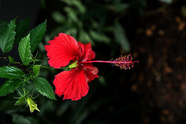 NICE: Parc Phoenix: Hibiscus Rose de Chine (Hibiscus rosa-sinensis). 06