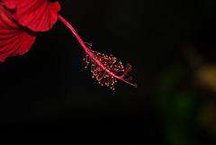 NICE: Parc Phoenix: Hibiscus Rose de Chine (Hibiscus rosa-sinensis). 07