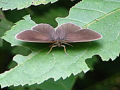 20090625 03875DSCw [D-MI] Schornsteinfeger (Aphantopus hyperantus)
