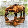 Lotos lagoon horse