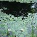 Half moon state park. Sur la 4 près de la 30 nord. Vermont, USA /  États-Unis -   26 juillet  2009 -  Jardin flottant de nénuphares - Water-lilies floating garden.  Sans flash