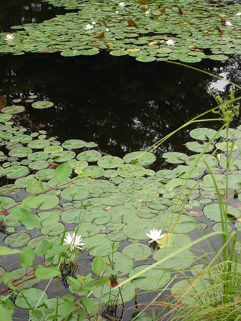 Half moon state park. Sur la 4 près de la 30 nord. Vermont, USA /  États-Unis -   26 juillet  2009 -  Jardin flottant - Floating garden. Avec flash
