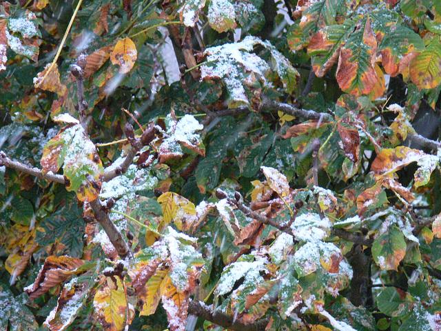 Herbstblätter und Schneeregen