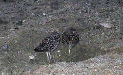 Burrowing Owls (4756)