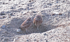 Burrowing Owls (4758)