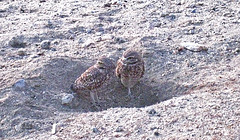 Burrowing Owls (4760)