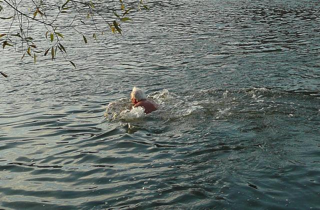 Schwimmen in der Elbe 7.11.2009