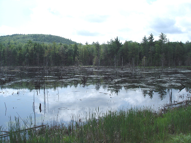 Écosystème avec quenouilles sur la 9 south entre Ausable & Lewis /  Vermont USA / États-Unis.  25 juillet 2009