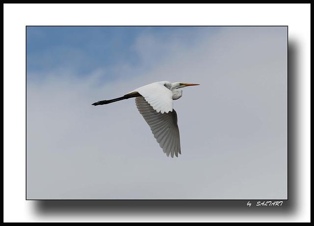Intermediate Egret in Flight.