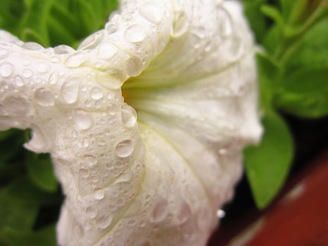 The white petunia is great with drops on