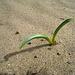Desert Lily (4980)