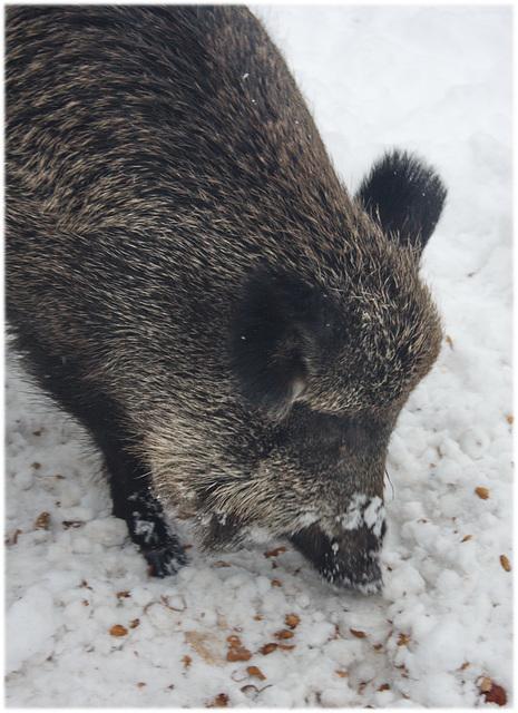 Wildschwein im Tiergarten