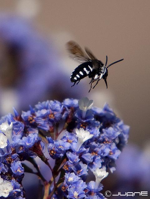 Hymenoptera, apiforme, Thyreus.