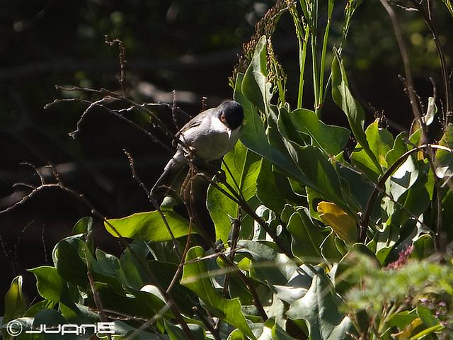 Curruca Cabecinegra, Sylvia melanocephala