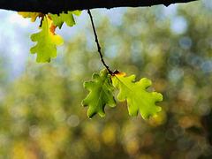 Oak (pb300958)