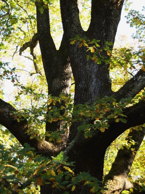 Oak (pb300973)
