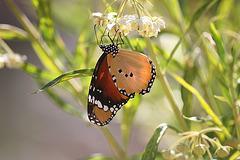 Butterfly - Mallorca