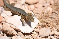 Lizard on the Illa de sa Dragonera - Mallorca