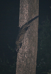 Palm Civet in Manas