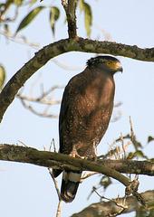 Crested Serpent Eagle - Kaziranga