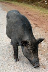 Pigs running around  every where