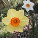 Daffodils (p2122548)
