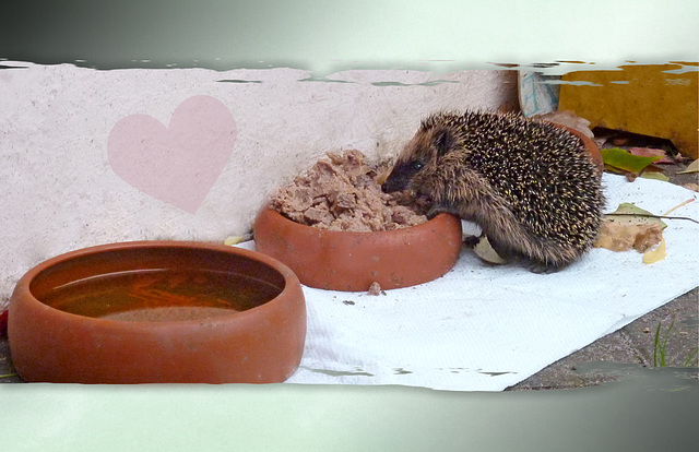 ☆ my baby hedgehog ♥