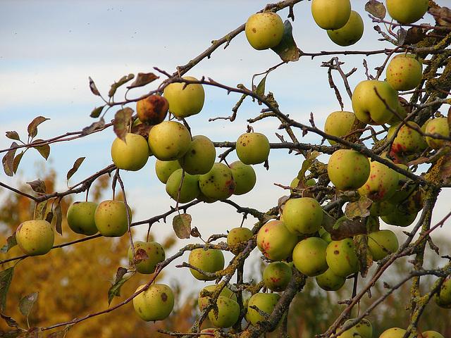 automne  pommes