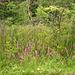 Half moon state park. Sur la 4 près de la 30 nord. Vermont, USA /  États-Unis -   26 juillet  2009 -   Wild flowers / Fleurs sauvages.