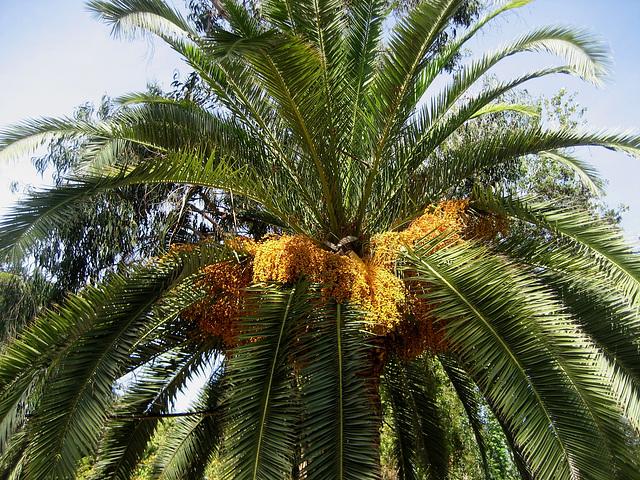 Oeiras, Municipal Garden, golden palm tree