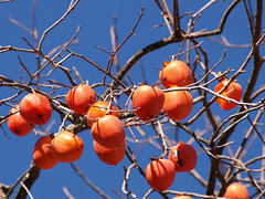 Persimmons (pc258884)