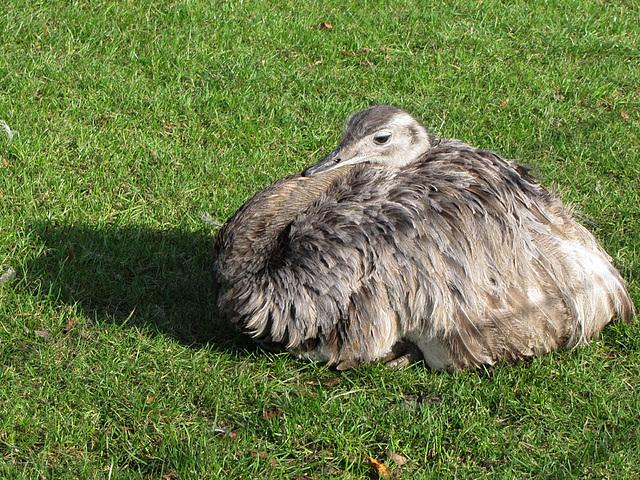 IMG 0247 Emu