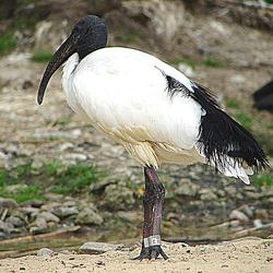 20090527 0191DSCw [D~LIP] Heiliger Ibis (Threskiornis aethiopicus), Vogelpark Detmold-Heiligenkirchen