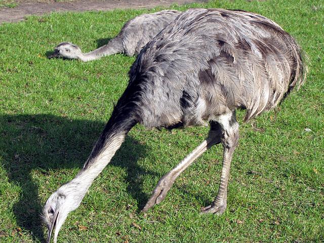 IMG 0245 Emus