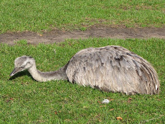 IMG 0246 Emu