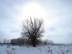Randonnée en raquettes - Snowshoe run/  Hometown - Dans ma ville.  Hiver 2008 - L'arbre solitaire /  Lonely tree