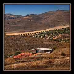 red plastic boxes and green olive trees